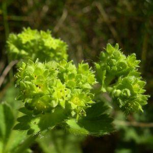 Gewoehnlicher Frauenmantel Alchemilla vulgaris 01