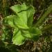 Zurück zum kompletten Bilderset Gewöhnlicher Frauenmantel - Alchemilla vulgaris