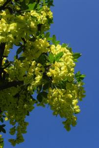 Gewoehnlicher Goldregen Bluete gelb Laburnum anagyroides 04