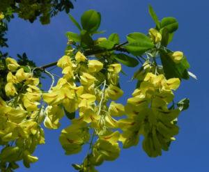 Gewoehnlicher Goldregen Bluete gelb Laburnum anagyroides 06