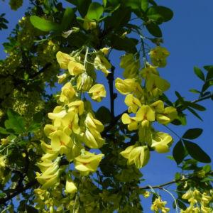 Gewoehnlicher Goldregen Bluete gelb Laburnum anagyroides 08