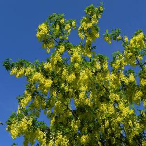 Gewoehnlicher Goldregen Bluete gelb Laburnum anagyroides 11