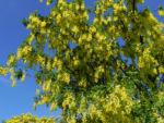Bild: Gemeiner Goldregen Gewöhnlicher Goldregen Blüte gelb Laburnum anagyroides
