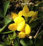 Gewoehnlicher Hornklee Bluete gelb Lotus corniculatus 11
