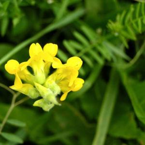 Gewoehnlicher Hornklee Bluete hellgelb Lotus corniculatus 01
