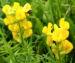 Zurück zum kompletten Bilderset Gewöhnlicher Hornklee Blüte hellgelb Lotus corniculatus