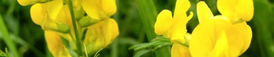 Anklicken um das ganze Bild zu sehen Gewöhnlicher Hornklee Blüte hellgelb Lotus corniculatus