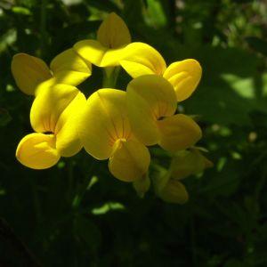 Bild: Gewoehnlicher Hornklee Bluete Lotus corniculatus