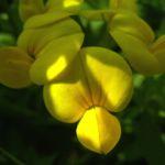Gewoehnlicher Hornklee Bluete Lotus corniculatus 02