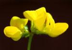 Gewoehnlicher Hornklee Kraut Bluete gelb Lotus corniculatus 04