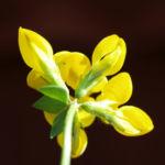 Gewoehnlicher Hornklee Kraut Bluete gelb Lotus corniculatus 05