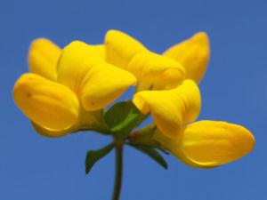 Gewoehnlicher Hornklee Kraut Bluete gelb Lotus corniculatus 11
