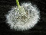 Gewoehnlicher Loewenzahn Samen braun weiss Taraxacum 05