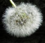 Gewoehnlicher Loewenzahn Samen braun weiss Taraxacum 08