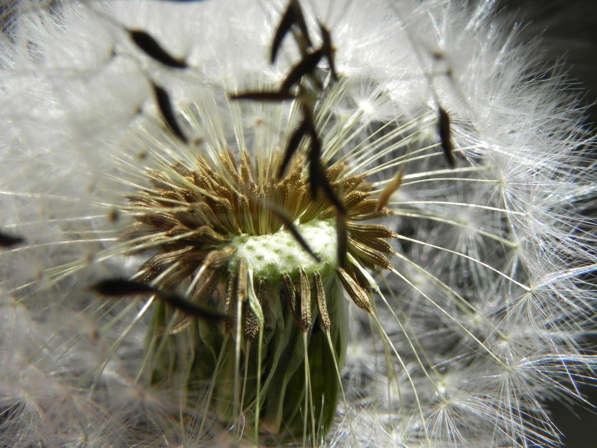 Gewoehnlicher Loewenzahn Samen braun weiss Taraxacum