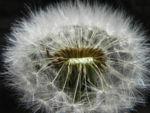 Bild: Gewöhnlicher Löwenzahn Pusteblume Samen braun weiss Taraxacum
