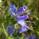 Gewoehnlicher Natternkopf Echium vulgare 01