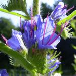 Gewoehnlicher Natternkopf Echium vulgare 03