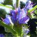 Zurück zum kompletten Bilderset Gewöhnlicher Natternkopf Blüte blau Echium vulgare
