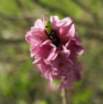 Gewoehnlicher Seidelbast Bluete pink Daphne mezereum 06