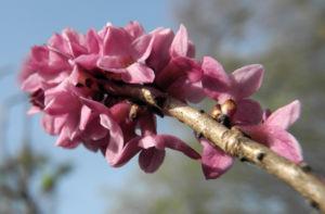 Gewoehnlicher Seidelbast Bluete pink Daphne mezereum 09