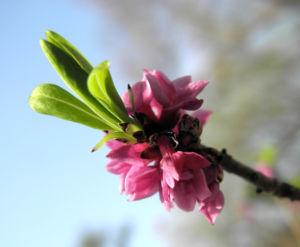 Gewoehnlicher Seidelbast Bluete pink Daphne mezereum 10