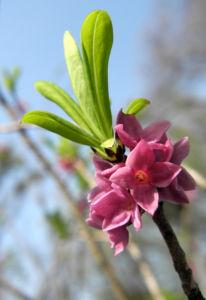 Gewoehnlicher Seidelbast Bluete pink Daphne mezereum 12