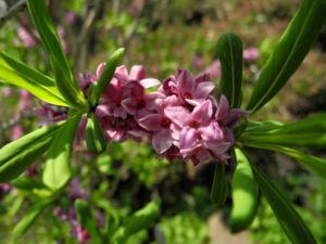 Gewoehnlicher Seidelbast Bluete pink Daphne mezereum 18
