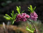 Gewoehnlicher Seidelbast Bluete pink Daphne mezereum 19