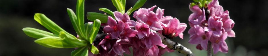 Anklicken um das ganze Bild zu sehen  Echter Seidelbast Blüte pink Daphne mezereum