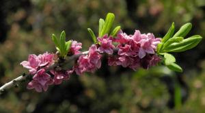 Gewoehnlicher Seidelbast Bluete pink Daphne mezereum 20