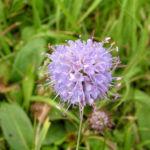 Gewoehnlicher Teufelsabbiss Bluete hellblau Succisa pratensis 01