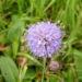 Zurück zum kompletten Bilderset Gewöhnlicher Teufelsabbiss Blüte hellblau Succisa pratensis