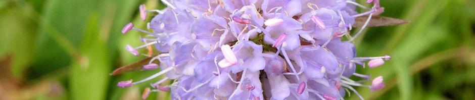 gewoehnlicher-teufelsabbiss-bluete-hellblau-succisa-pratensis