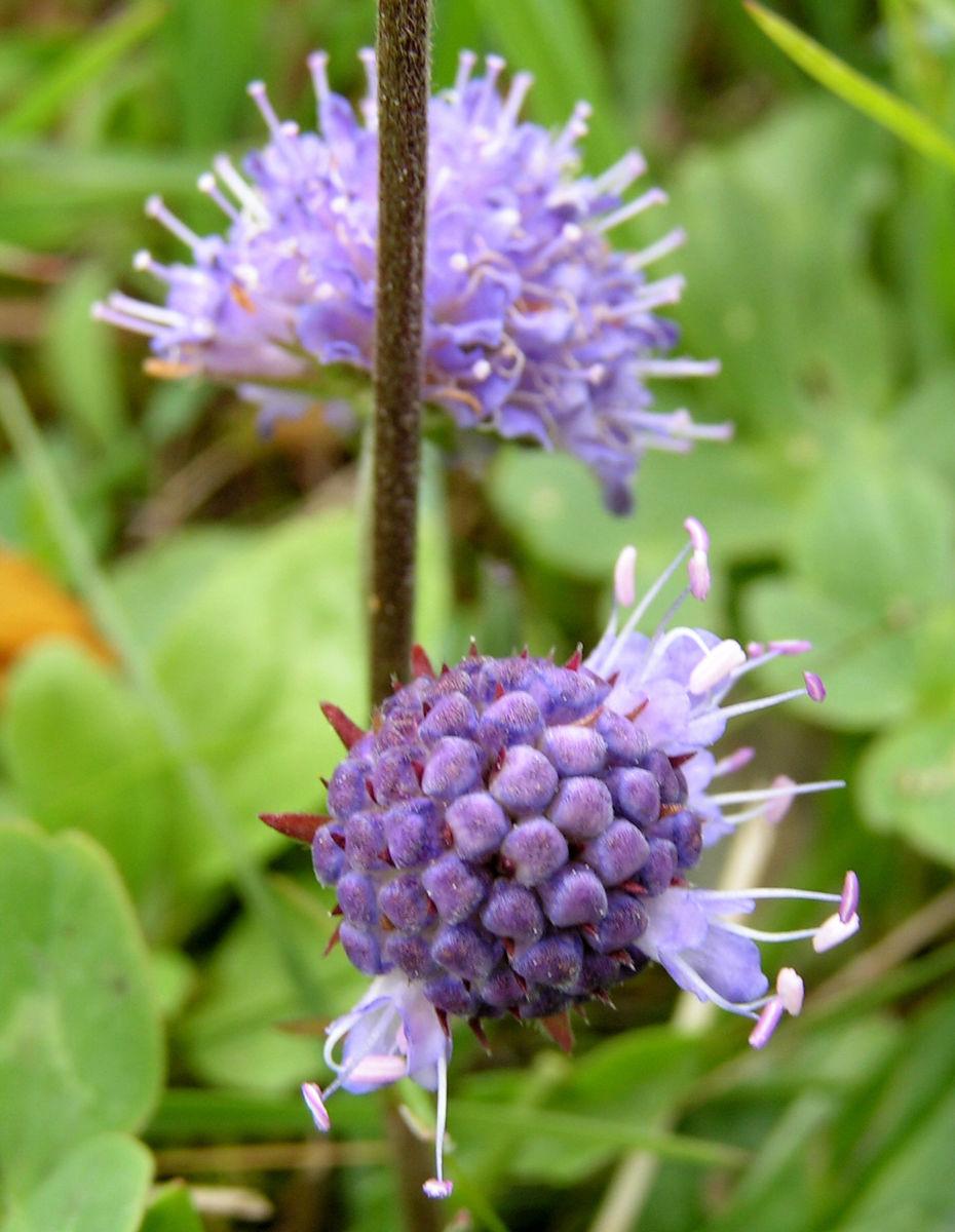 Gewoehnlicher Teufelsabbiss Bluete hellblau Succisa pratensis