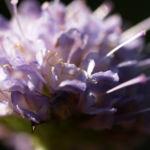 Gewoehnlicher Teufelsabiss Kraut Bluete violett Succisa pratensis 04