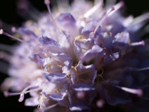 Gewoehnlicher Teufelsabiss Kraut Bluete violett Succisa pratensis 11