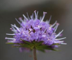 Gewoehnlicher Teufelsabiss Kraut Bluete violett Succisa pratensis 13