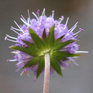 Gewoehnlicher Teufelsabiss Kraut Bluete violett Succisa pratensis 15