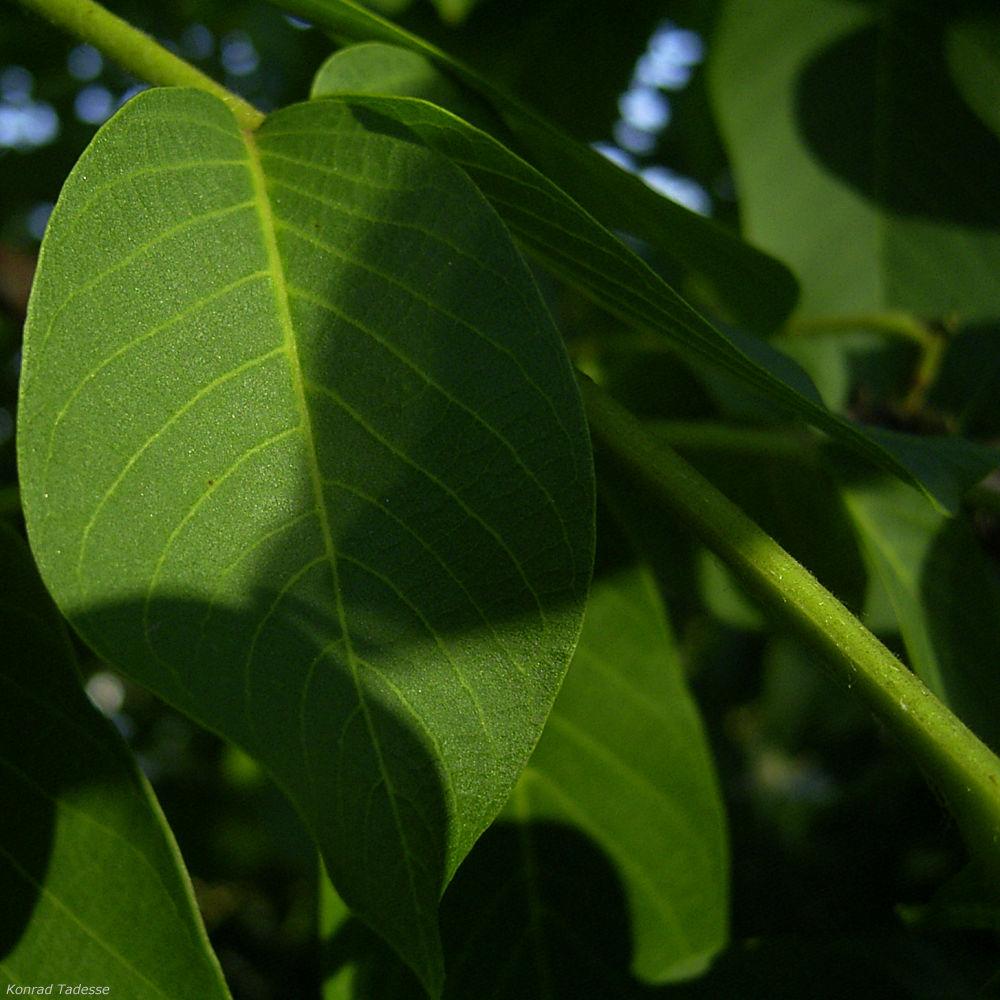 Gewoehnlicher Walnussbaum Juglans regia