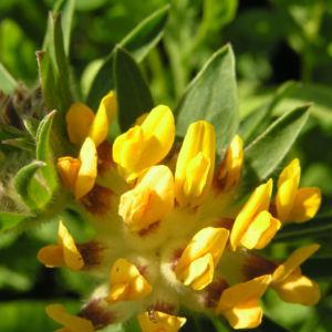 Gewoehnlicher Wundklee Bluete gelb Anthyllis vulneraria 05