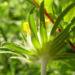 Zurück zum kompletten Bilderset Gewöhnlicher Wundklee Blüte gelb Anthyllis vulneraria
