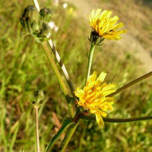 Gewoehnliches Bitterkraut Bluete gelb Picris hieracioides 01