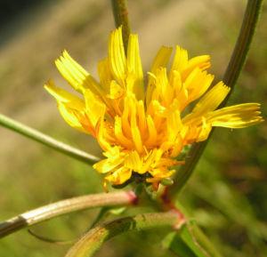 Gewoehnliches Bitterkraut Bluete gelb Picris hieracioides 04