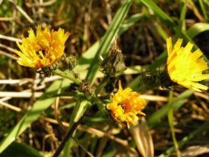 Gewoehnliches Bitterkraut Bluete gelb Picris hieracioides 05