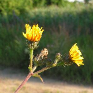 Gewoehnliches Bitterkraut Bluete gelb Picris hieracioides 08