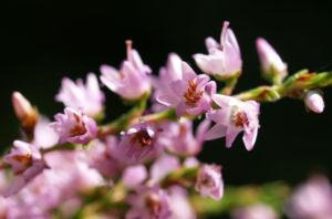 Gewoehnliches Heidekraut Bluete pink Calluna vulgaris 02