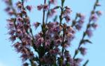 Gewoehnliches Heidekraut Bluete pink Calluna vulgaris 06
