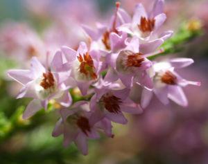 Gewoehnliches Heidekraut Bluete pink Calluna vulgaris 07