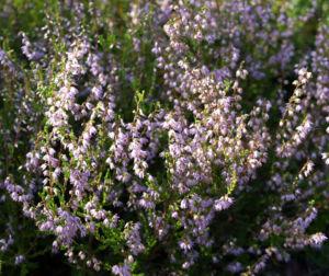 Gewoehnliches Heidekraut Bluete pink Calluna vulgaris 08